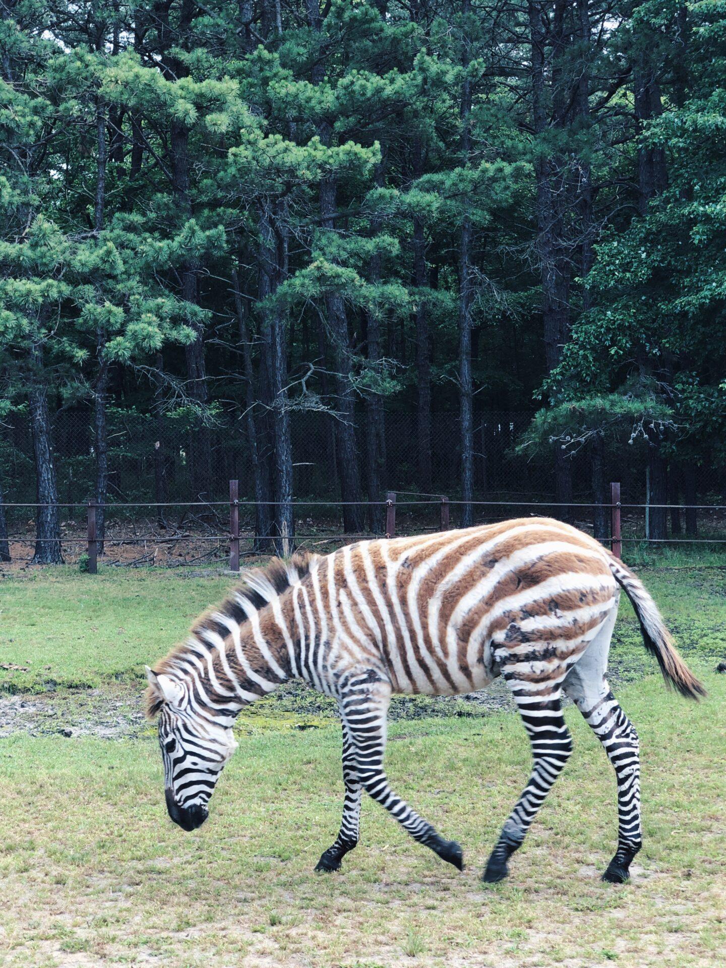 Great Adventure safari zebra