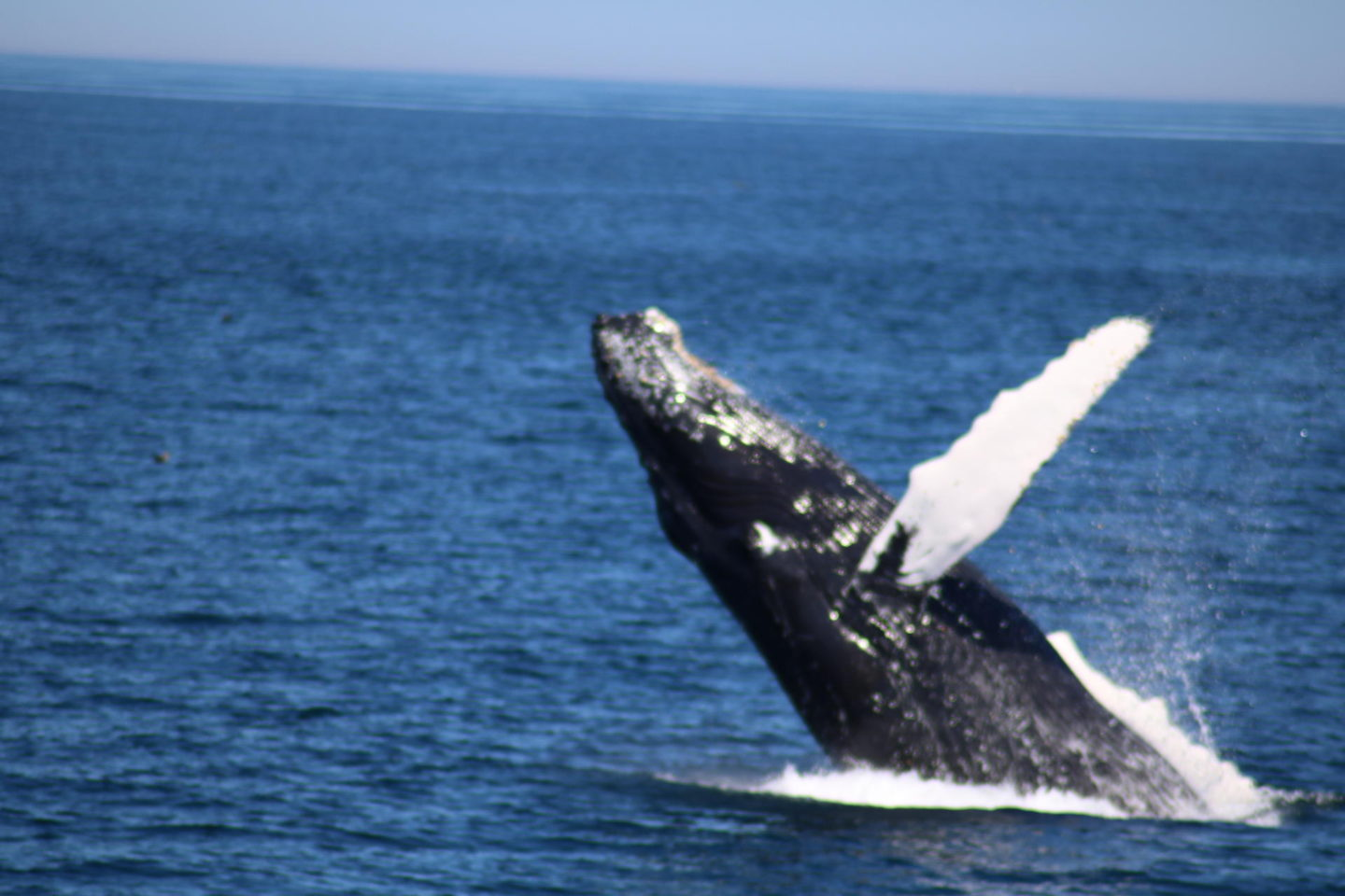 Whale Watching// Whale Breach Provincetown, MA