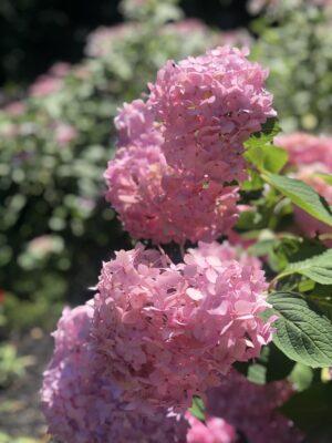 pink flowers NJ Garden
