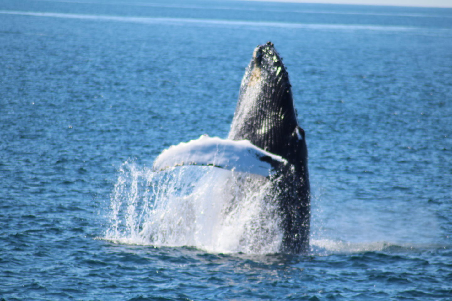 Whale Watching// Whale Breach in Cape Cod